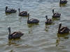 012-pelicans_water_original