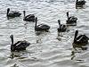 013-pelicans_water_bleach_bypass